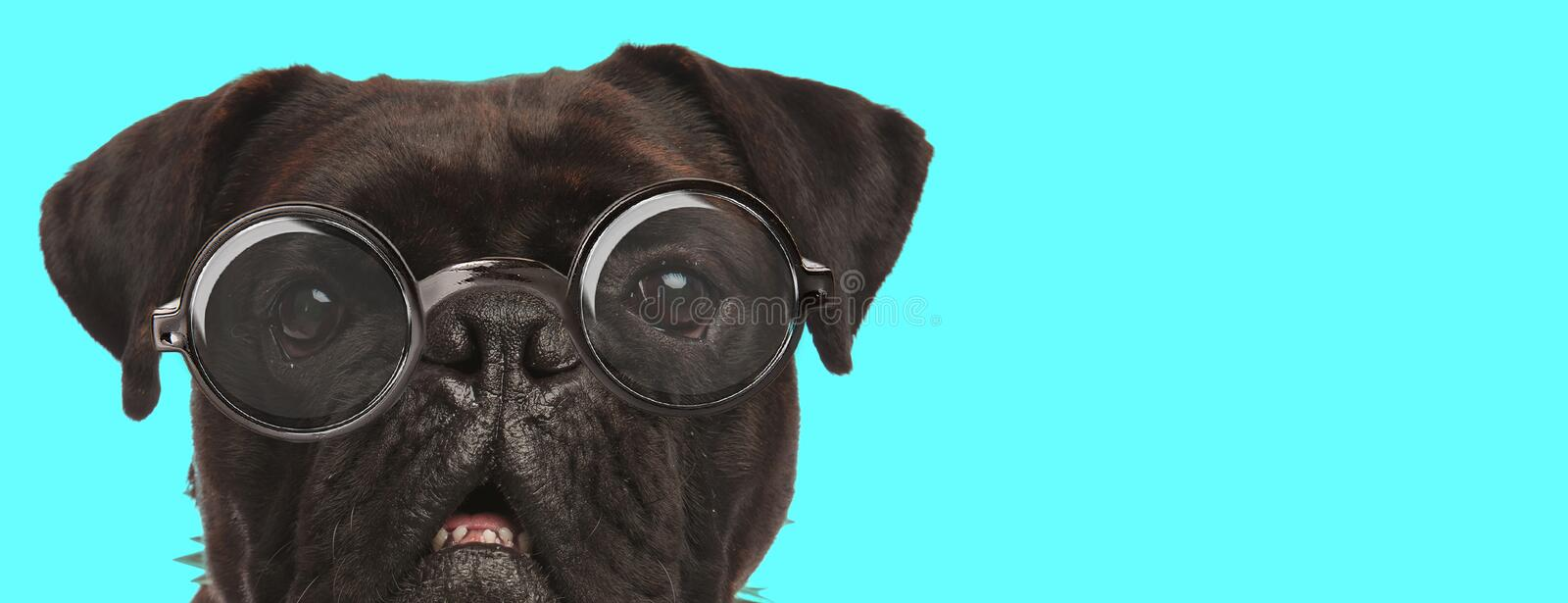 Adorable Boxer dog wearing eyeglasses and looking at camera stock photos