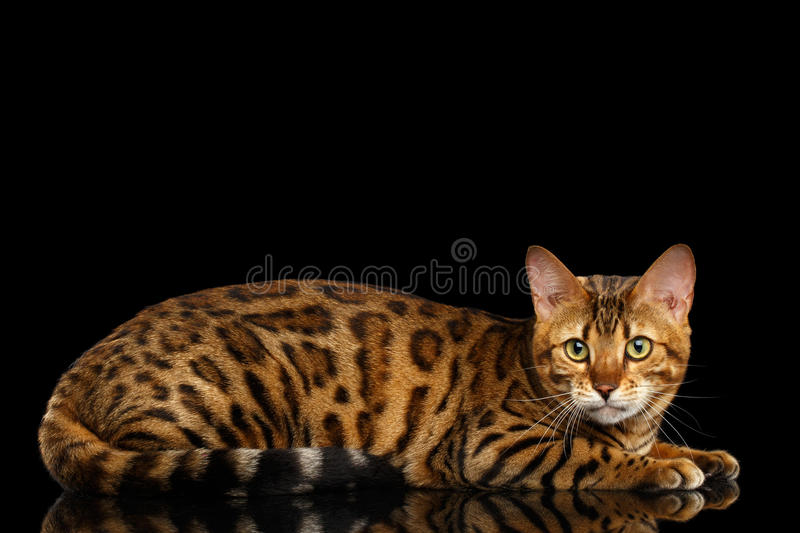 Adorable breed Bengal Cat on Black Background royalty free stock images