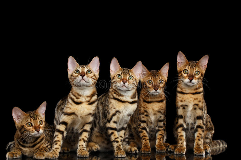 Adorable breed Bengal kittens isolated on Black Background stock images
