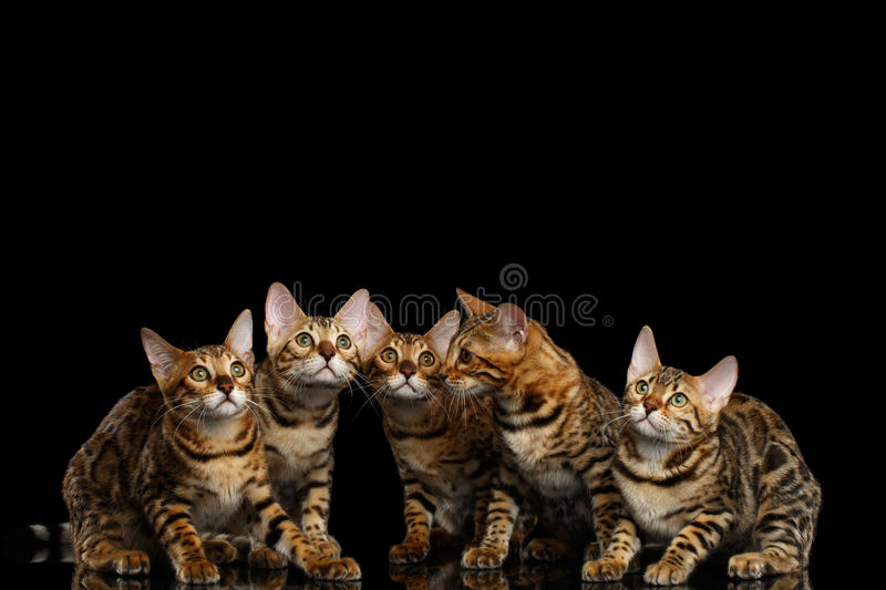 Adorable breed Bengal kittens isolated on Black Background royalty free stock photography