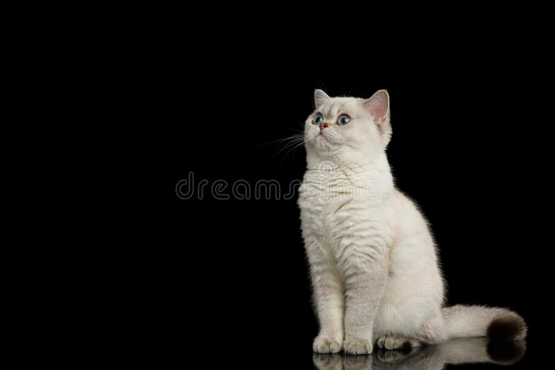 Furry British breed cat white color on isolated black background royalty free stock image