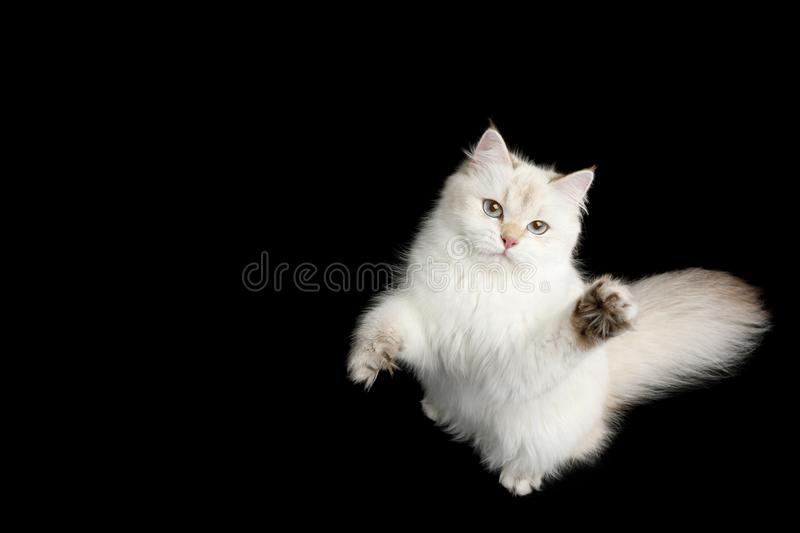 Adorable British Cat with Blue eyes on Isolated Black Background. British breed Cat, Color-point fur and Blue eyes Raising up paw, Looking up, on Isolated Black royalty free stock image
