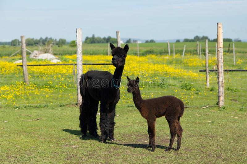 Adorable brown baby alpaca standing next to its darker blue-eyed mother in fenced enclosure. With buttercups in field in the rear, Pont-Rouge, Quebec, Canada royalty free stock image