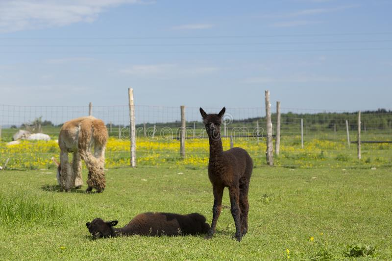 Adorable brown baby alpaca standing staring next to its sibling lying down in enclosure stock photography