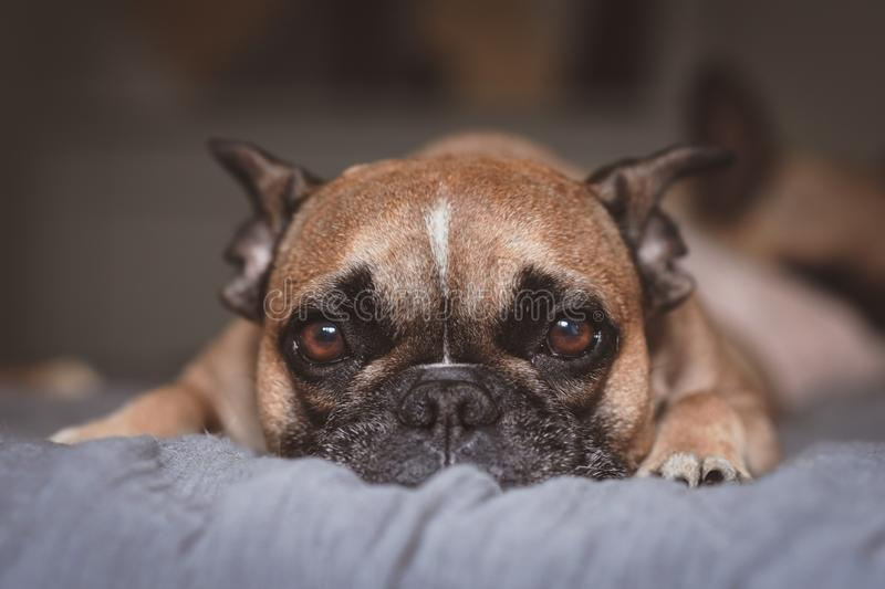 Adorable brown French Bulldog dog with big eyes looking straight into camera and white blaze on forehead on gray blanket royalty free stock images