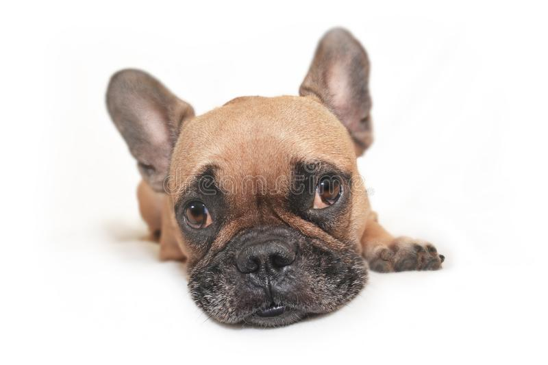 Adorable brown French Bulldog dog with big funny eyes lying on white ground royalty free stock photography