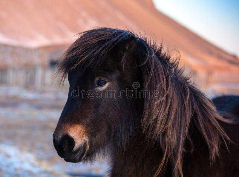 Adorable brown Icelandic horse in the winter at sunset royalty free stock image