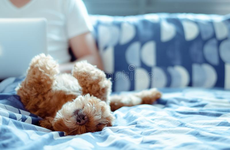An adorable brown Poodle dog lay on bed and enjoy his happiness with the owner who is working after wake up in the morning royalty free stock images