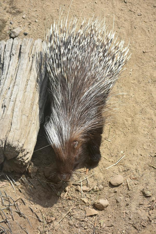 Adorable brown quilled porcupine next to a small log. Cute little brown porcupine standing next to a log stock image