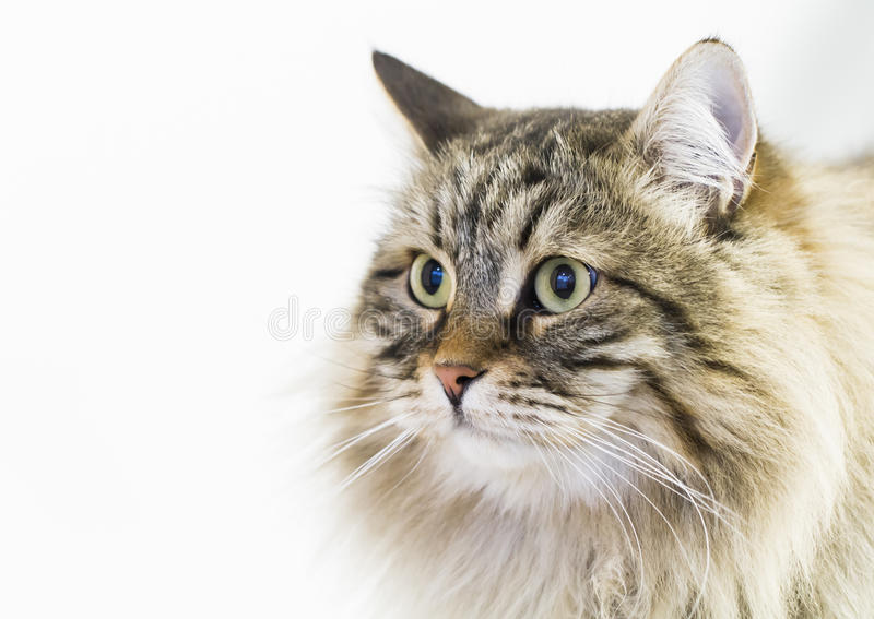Adorable brown tabby cat in the house, male siberian breed royalty free stock image