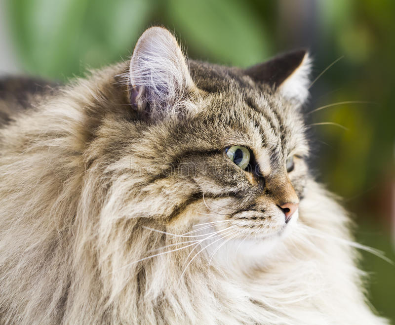 Adorable brown tabby cat in the house, male siberian breed stock image