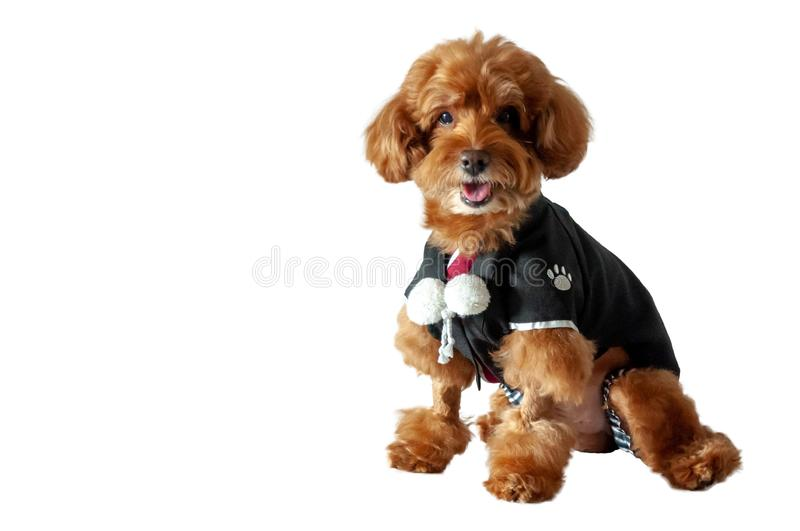 An adorable brown toy Poodle dog wearing Japanese traditional Yukata dress. An adorable brown toy Poodle dog with smiling shot wearing Japanese traditional stock photos