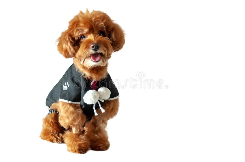 An adorable brown toy Poodle dog wearing Japanese traditional Yukata dress. An adorable brown toy Poodle dog with smiling shot wearing Japanese traditional royalty free stock photography