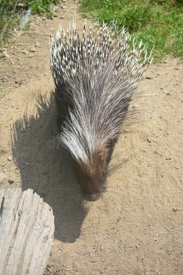 Adorable brown and white tipped porcupine walking around. Cute brown porcupine walking around a log stock photography