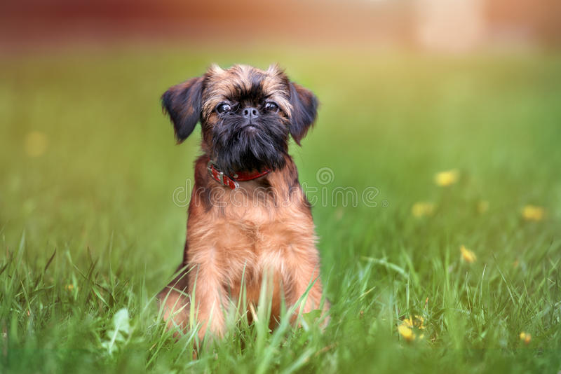 Adorable brussels griffon puppy outdoors in summer. Brussels griffon dog outdoors in summer royalty free stock photo