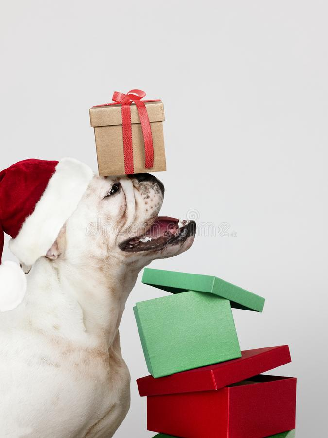 Adorable Bulldog puppy with Christmas presents stock images