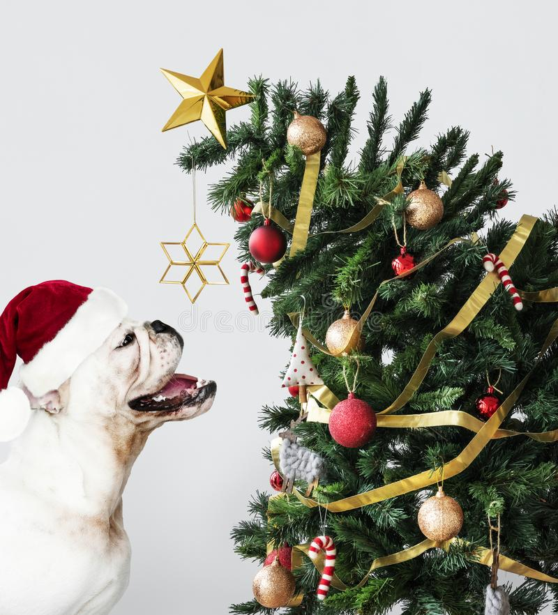 Adorable Bulldog puppy standing next to a Christmas tree royalty free stock photography
