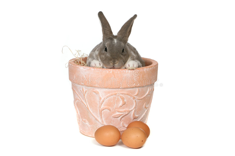 Adorable Bunny in Pot on White Background royalty free stock photo