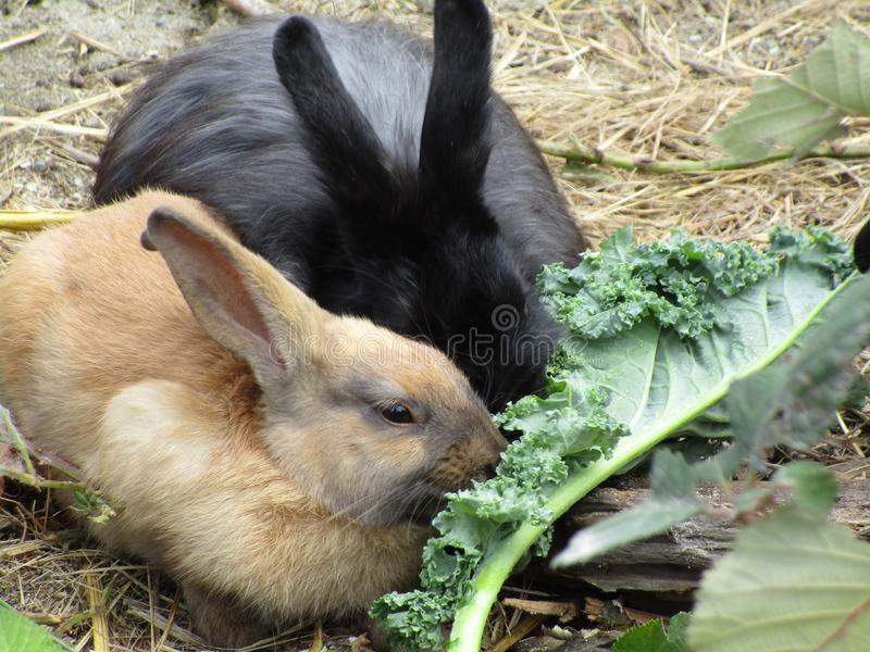 Adorable bunny rabbits with kale, Canada, Summer 2018. Sweet young bunny rabbits feeding on green kale at Jericho beach, Vancouver, British Columbia, 2018 stock photography