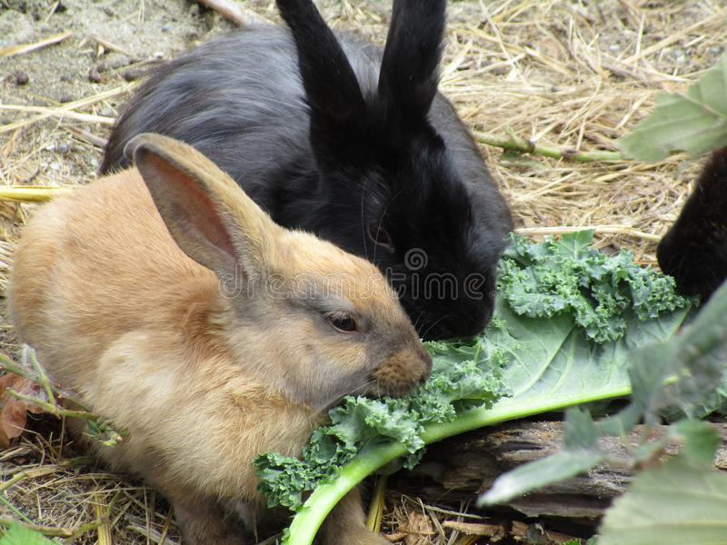 Adorable bunny rabbits with kale, Canada, Summer 2018. Sweet young bunny rabbits feeding on green kale at Jericho beach, Vancouver, British Columbia, 2018 stock image