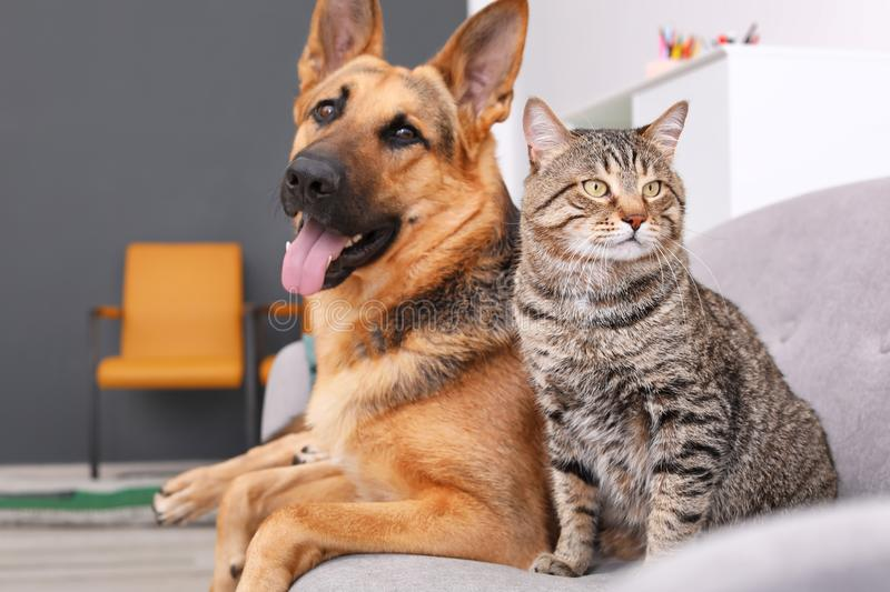 Adorable cat and dog resting together on sofa indoors. Animal friendship stock photos
