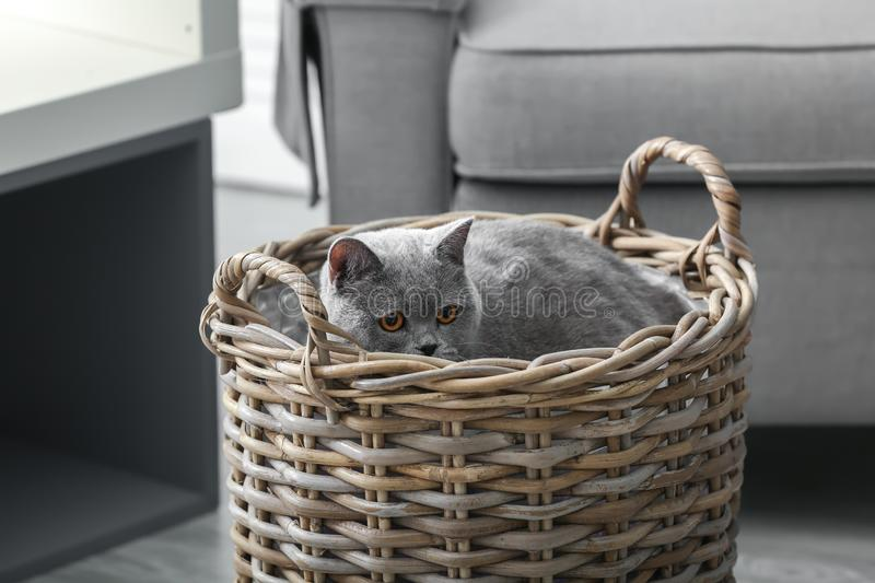 Adorable cat in hamper at home royalty free stock image