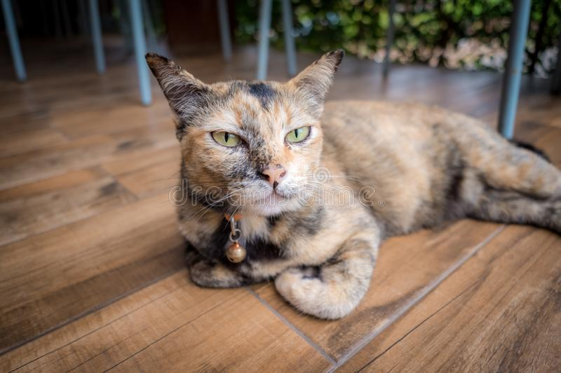 Adorable cat is laying in wooden floor. Yellow and black cat with blur background. Cute cat with a mini bell necklace stock image