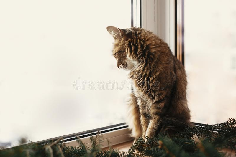 Adorable cat looking at window on snowy weather, sitting at fir branches. Cute Maine Coon relaxing at christmas tree and looking royalty free stock photos