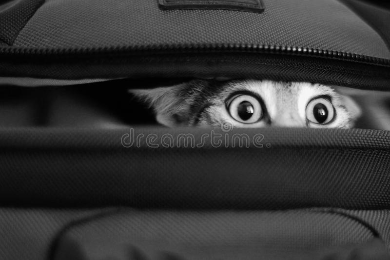 Adorable cat peeking out of bag. bw.  stock photos