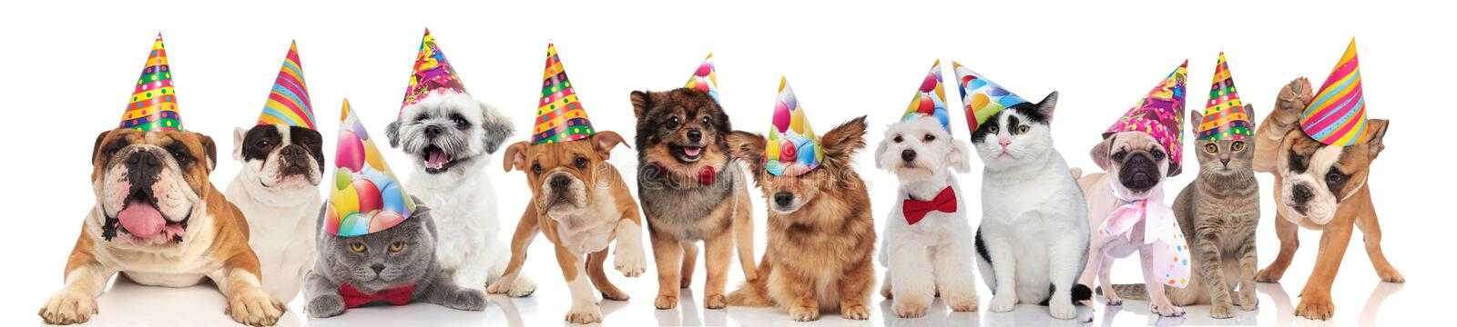 Adorable cats and dogs attending a birthday party. While standing, sitting and lying on white background royalty free stock photos