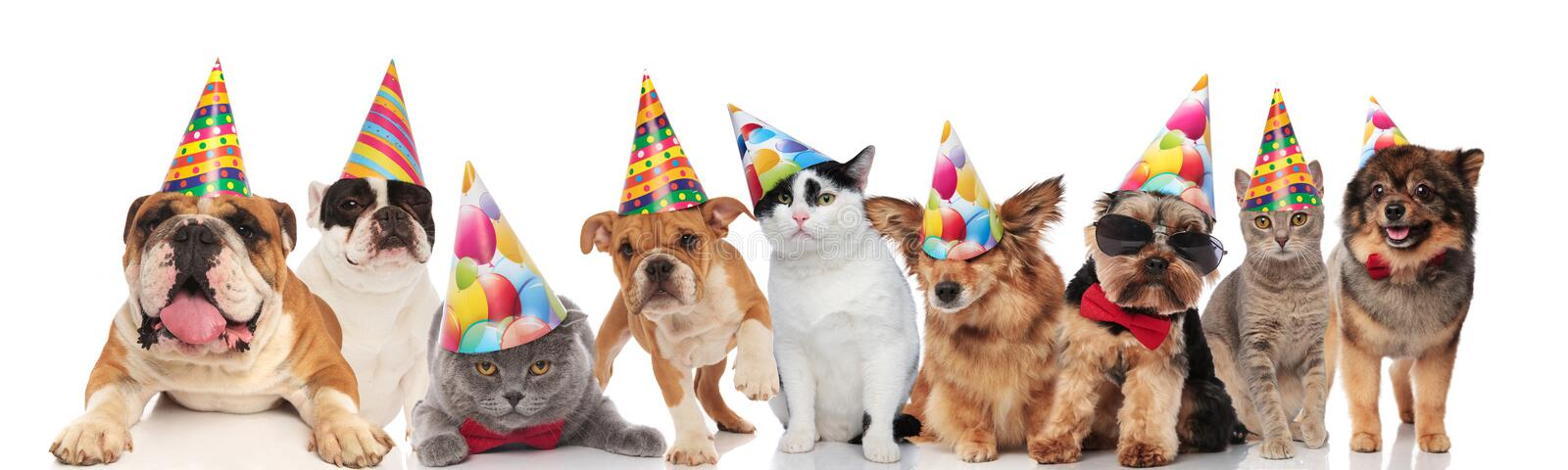 Adorable cats and dogs wearing colorful birthday hats looking funny. While standing sitting and lying on white background stock images