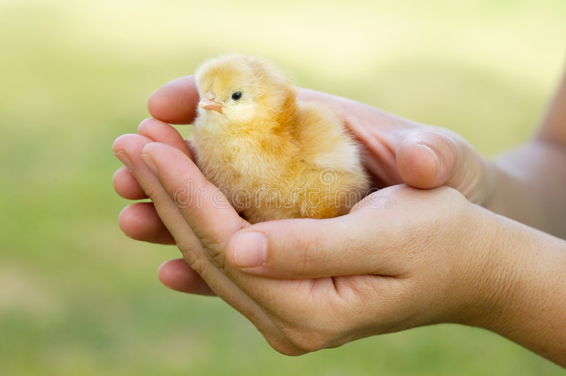 Adorable chick protected by hands royalty free stock images