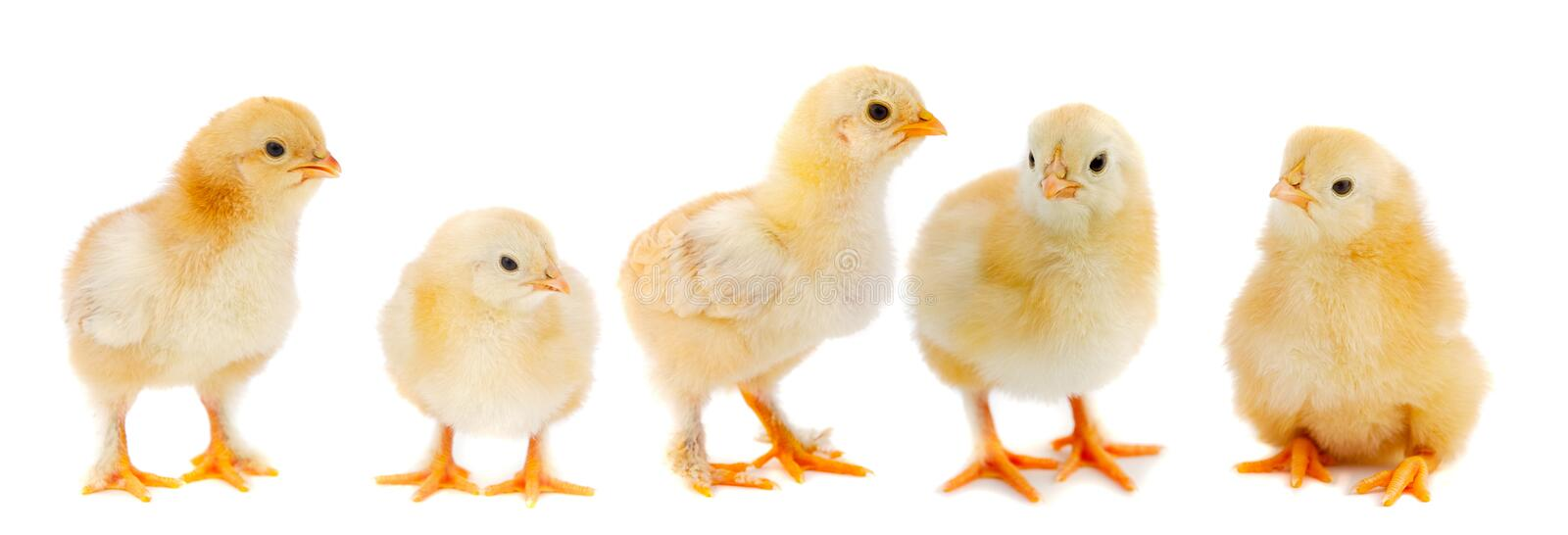Adorable chicks. A over white background