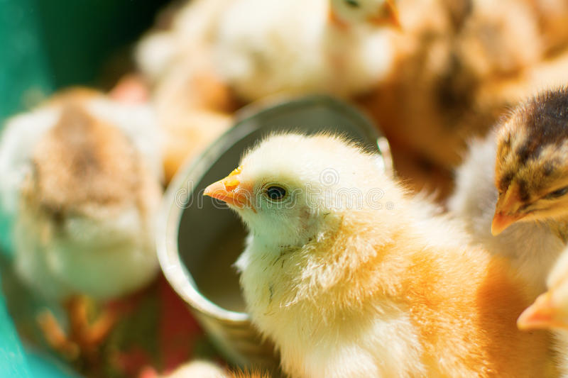 Adorable chicks royalty free stock photography