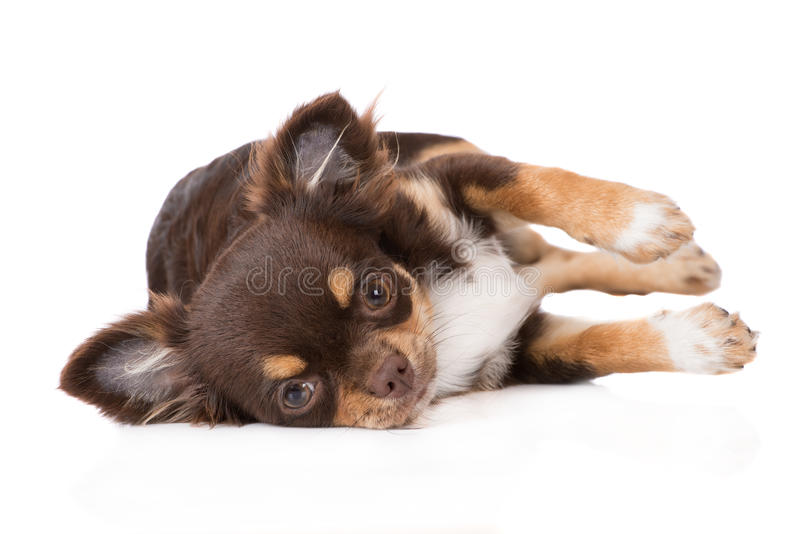 Wonderful Chihuahua Canine Adorable Dog - adorable-chihuahua-puppy-lying-side-brown-posing-white-59485486  Gallery_968830  .jpg