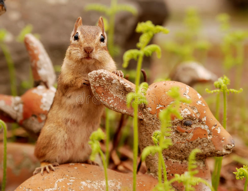 Download Adorable chipmunk stock photo. Image of young, mammal - 19816454
