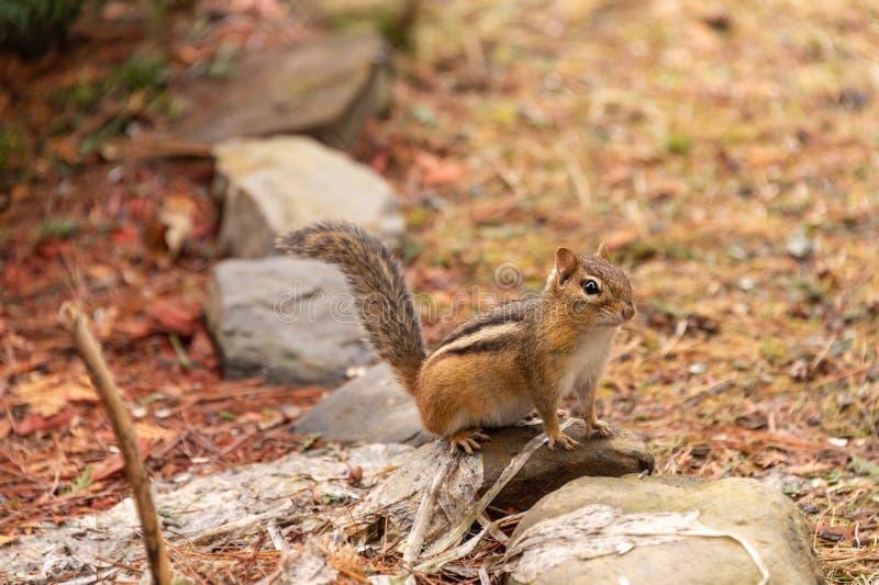 Chipmunk in Quebec, Canada. Adorable chipmunk in Quebec, Canada stock image