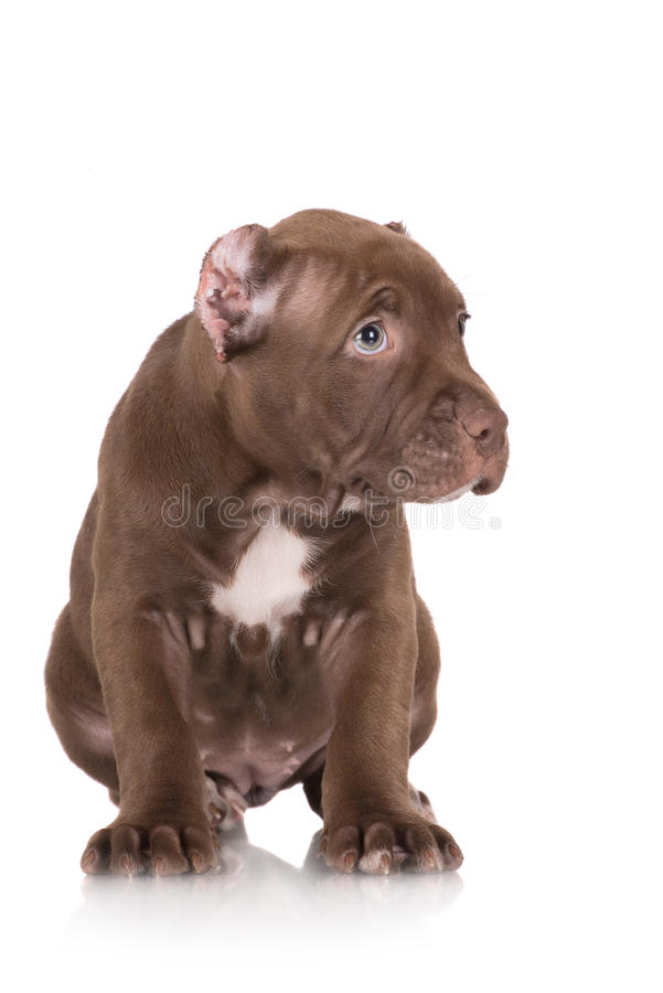 Simple Chocolate Brown Adorable Dog - adorable-chocolate-brown-pit-bull-puppy-american-terrier-41838880  Graphic_19377  .jpg