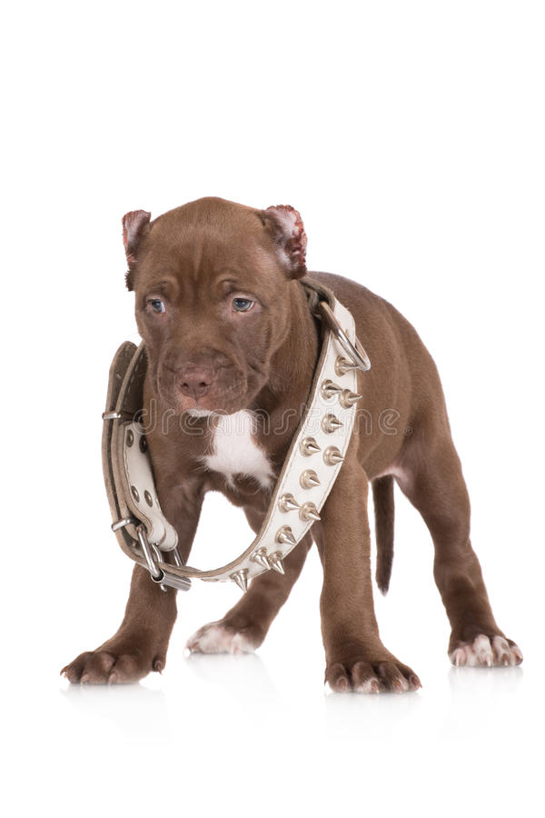 Wonderful Chocolate Brown Adorable Dog - adorable-chocolate-brown-pit-bull-puppy-american-terrier-41877565  Perfect Image Reference_22294  .jpg