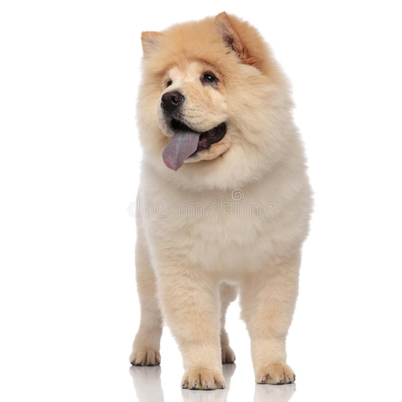 Adorable chow chow pants and looks to side while standing stock photo