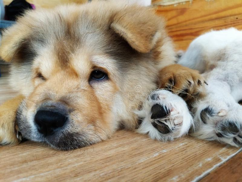 Adorable Chow Chow Puppy stock photos