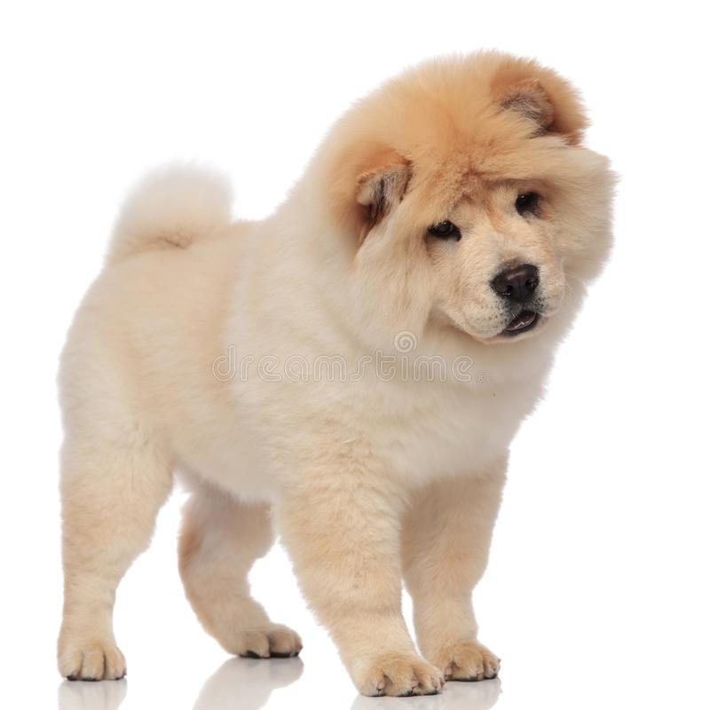 Adorable chow chow stands and looks down to side stock photography
