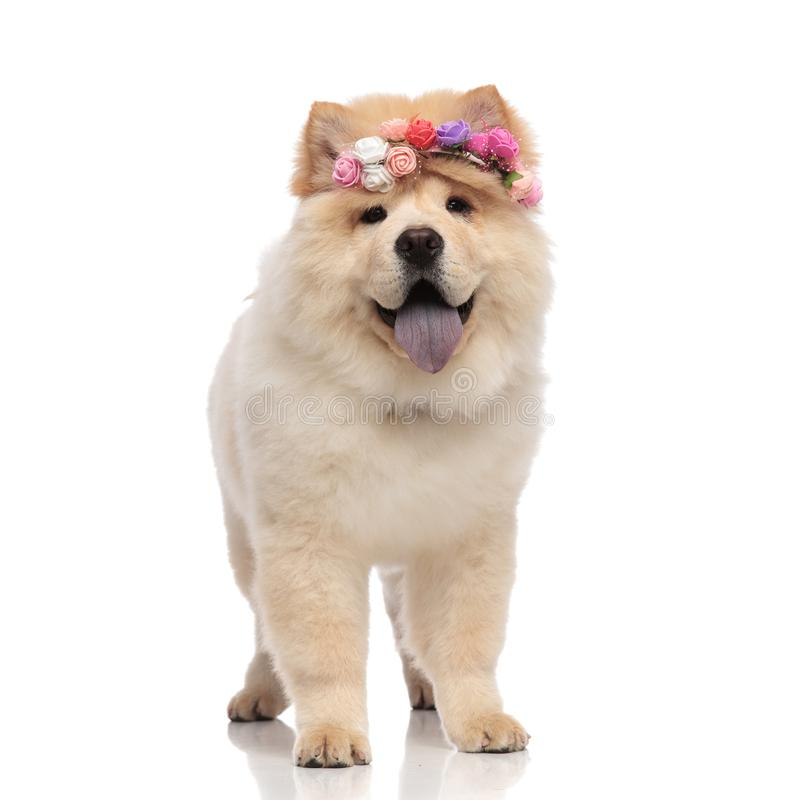 Adorable chow chow wearing colored flowers headband standing royalty free stock photography