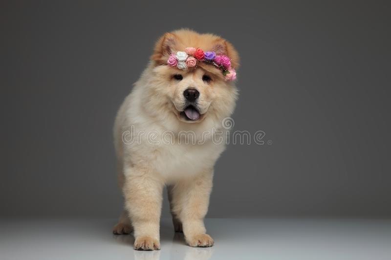 Adorable chow chow wearing fresh flowers crown panting royalty free stock image