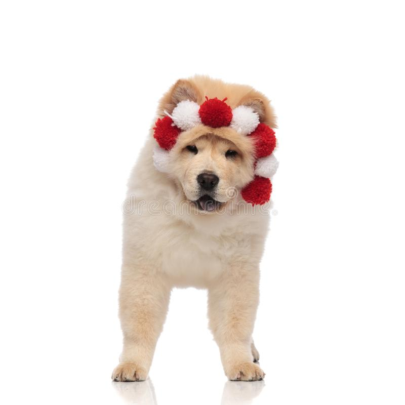 Adorable chow chow wearing red and white headband with balls stock image