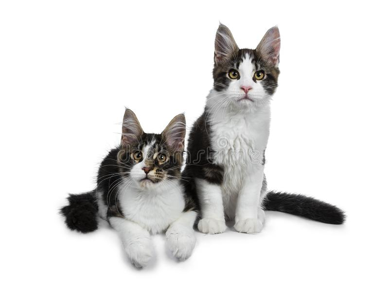Lack tabby with white Maine Coon cat kittens, Isolated on white background. royalty free stock photography