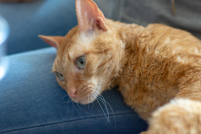 Adorable curly cat Ural Rex lies on the leg of the owner. And looks with green eyes stock photo