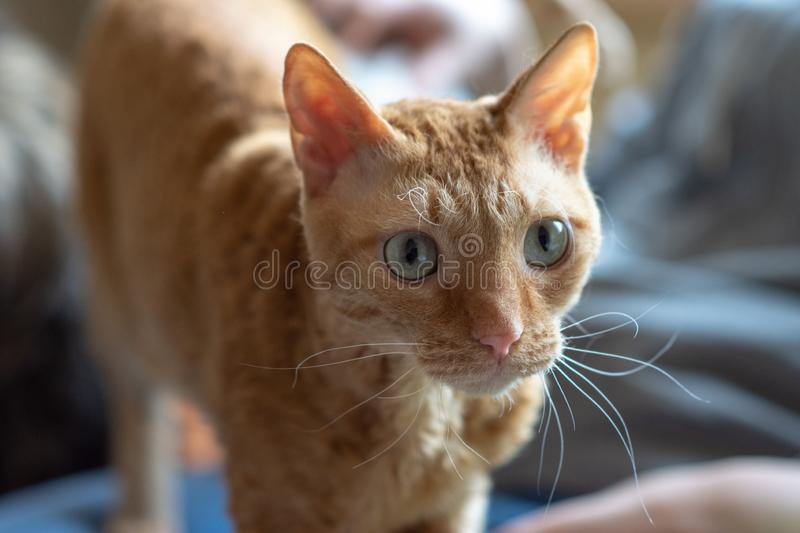 Adorable curly cat Ural Rex stands and looks forward with green eyes. Adorable curly cat Ural Rex stands and looks at the owner with green eyes stock images