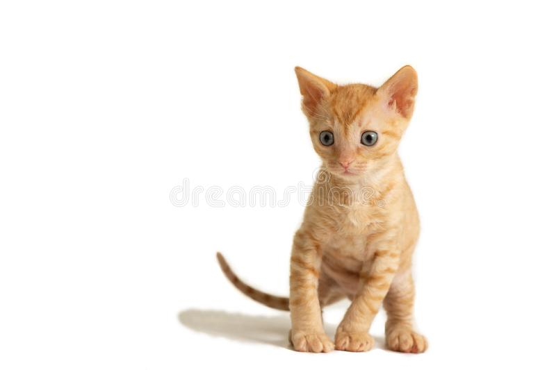 Adorable curly-haired kitten Ural Rex sits and looks forward, isolated on a white background. Red color royalty free stock images