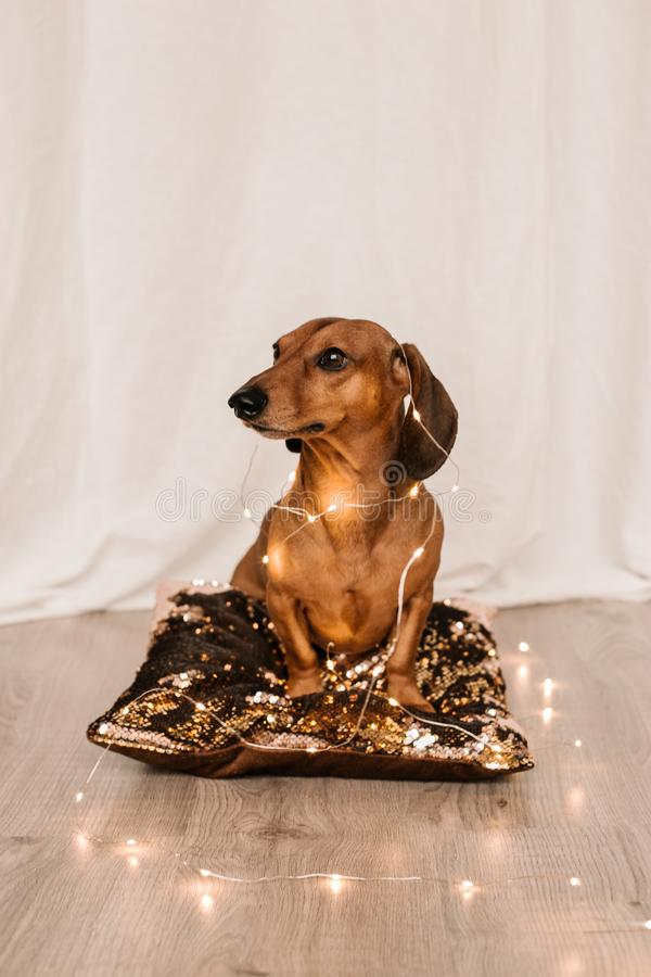 Adorable cute brown dachshund is seatting in the glittering pillow. Christmas lights is around him. New Year mood. White royalty free stock photo